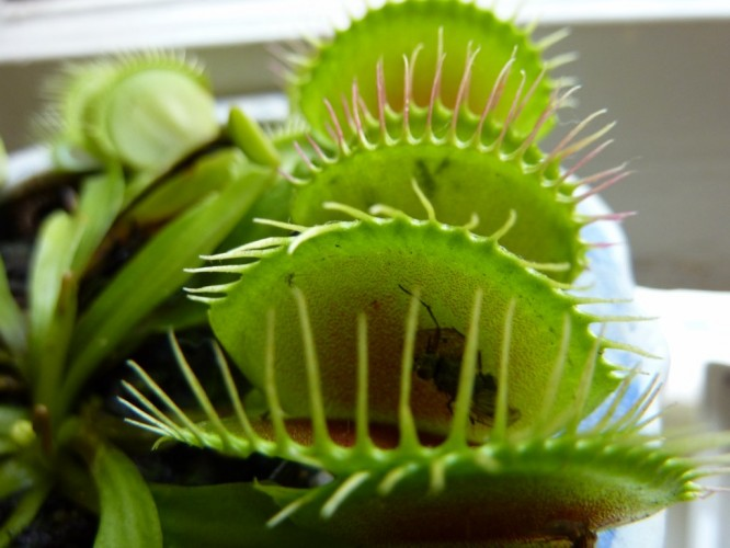 Our Pet Venus Fly Trap